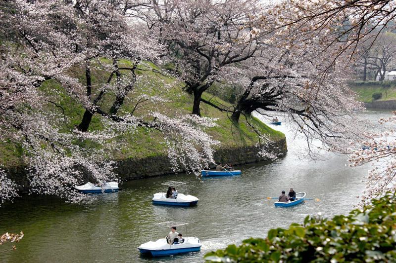 cherry bloom.jpg