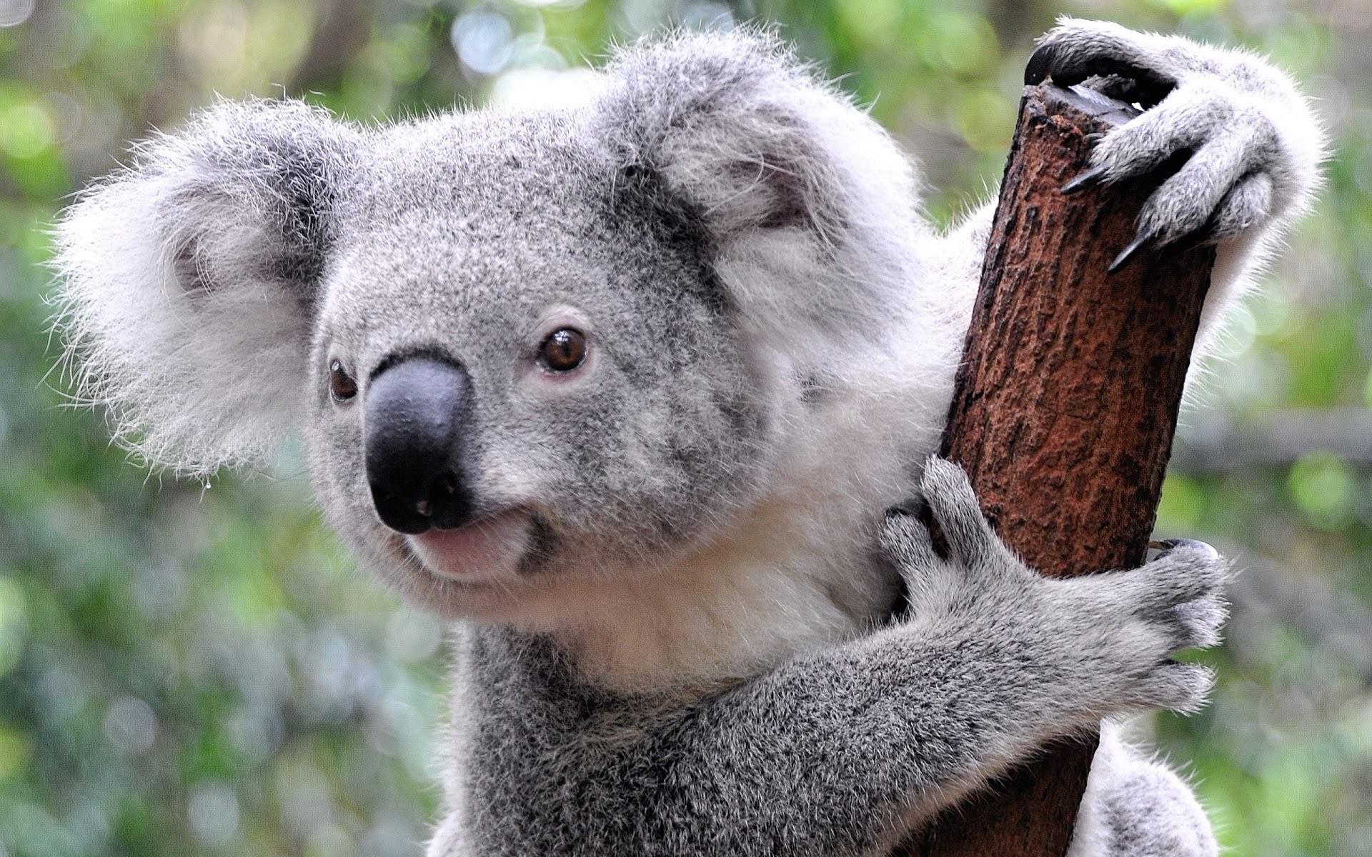 currumbin coala.jpg